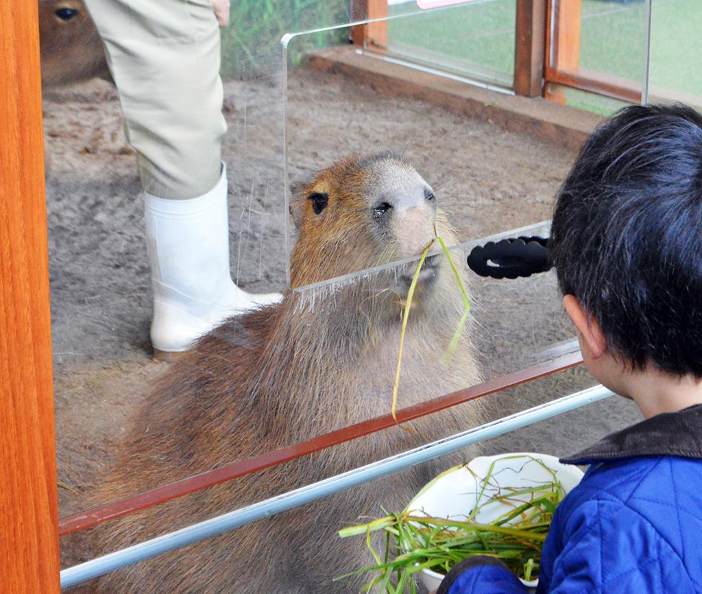 エサを食べるカピバラ/新江ノ島水族館(神奈川県/藤沢市)