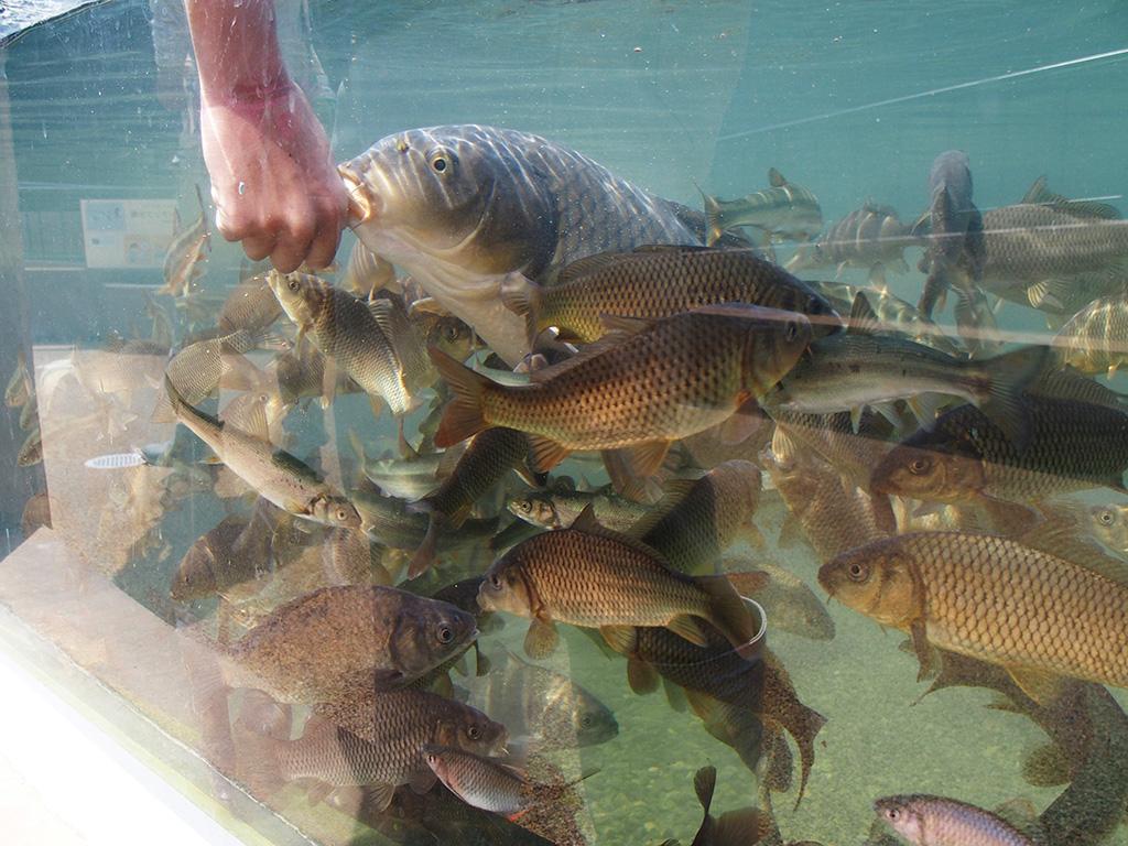 エサを持った手に集まってくる川魚/相模川ふれあい科学館 アクアリウムさがみはら(神奈川県/相模原市)