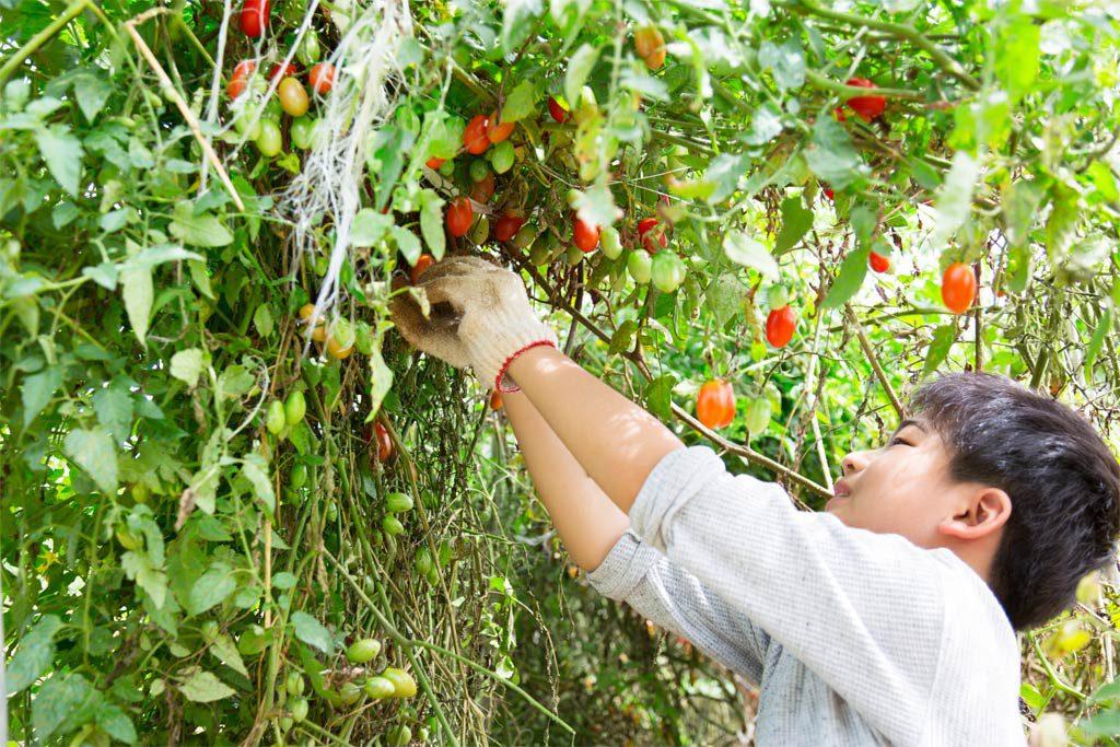 農園で季節野菜の収穫体験をする子ども(千葉県香取市・ザファーム)