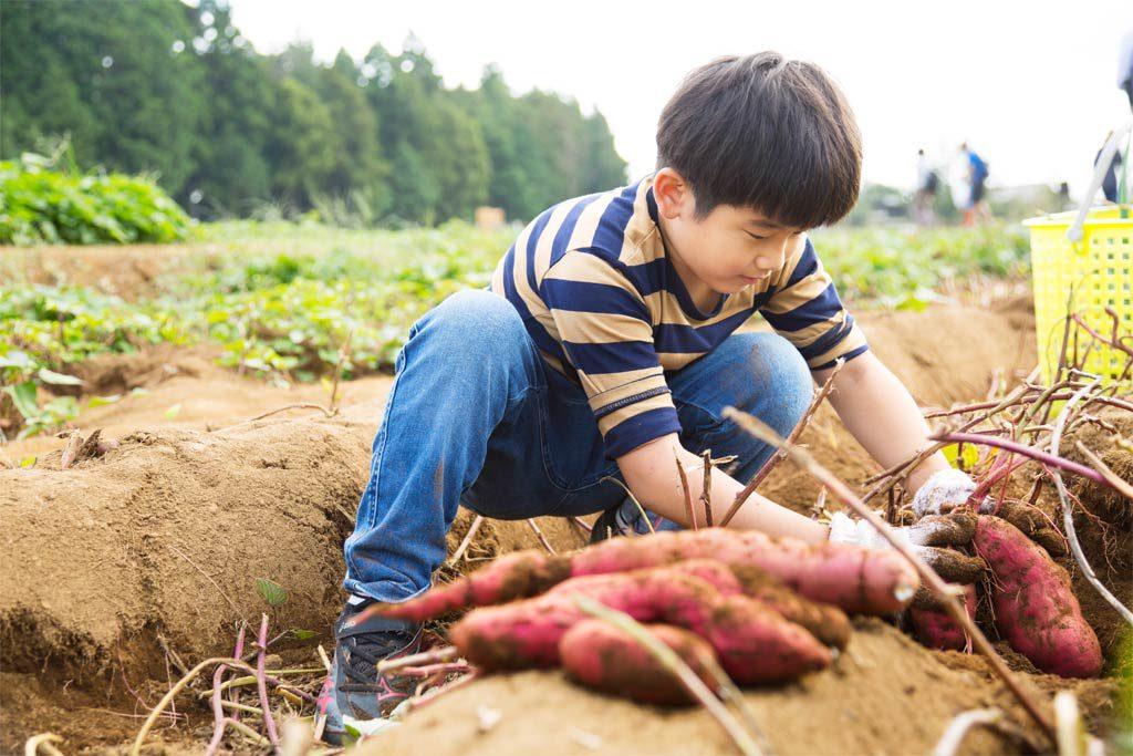 秋の味覚さつまいもの芋堀り体験(千葉県香取市・ザファーム)。