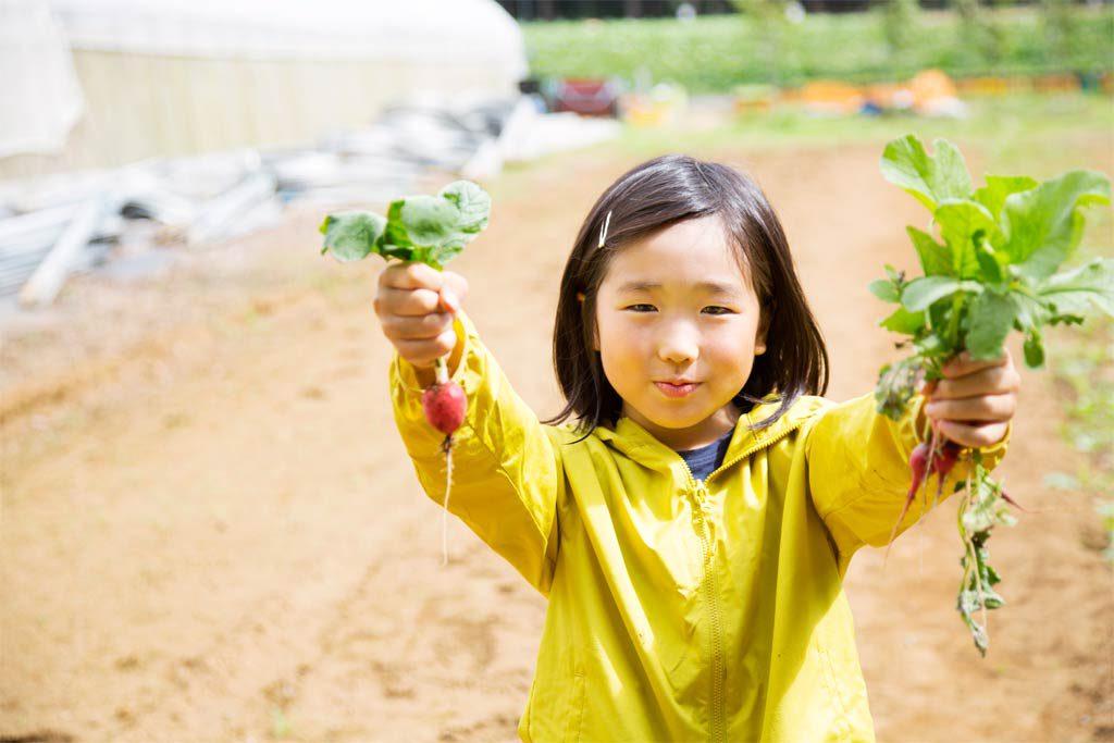 小さな子も収穫しやすい真っ赤なラディッシュ(千葉県香取市・ザファーム)