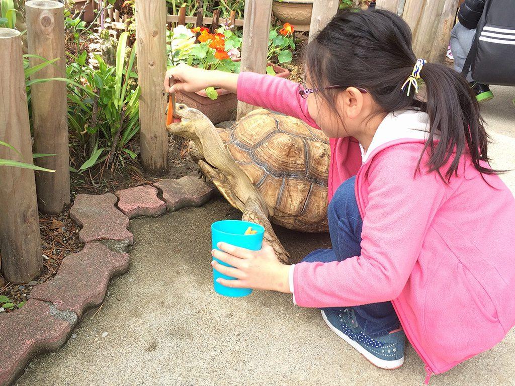 至近距離でリクガメにエサやり体験する様子/桂浜水族館(高知県/高知市)