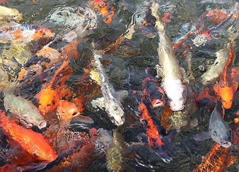 エサやり体験でエサに寄ってくるコイ/上越市立水族博物館 うみがたり(新潟県)