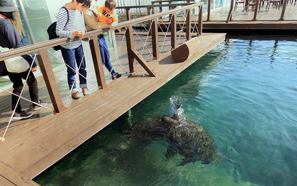 エサやり体験で集まってくるウミガメ/串本海中公園センター(和歌山県/串本町)