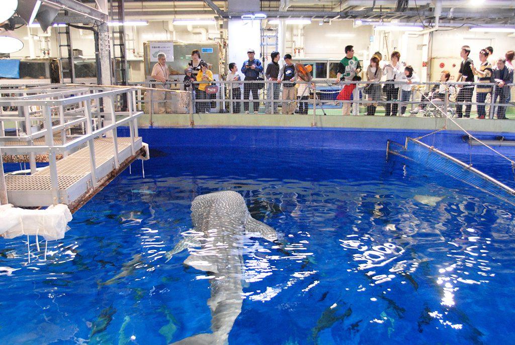 ジンベエザメを水槽の上から見る家族/いおワールド かごしま水族館(鹿児島県)