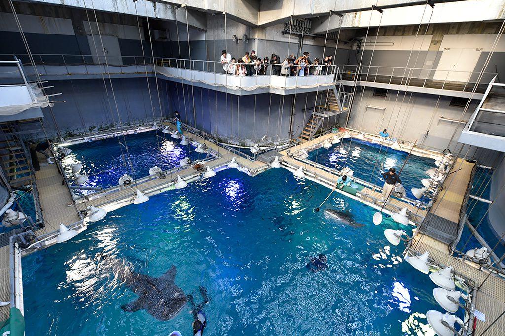 バックヤードツアーでジンベエザメのエサやりシーンの見学/海遊館(大阪府/大阪市)