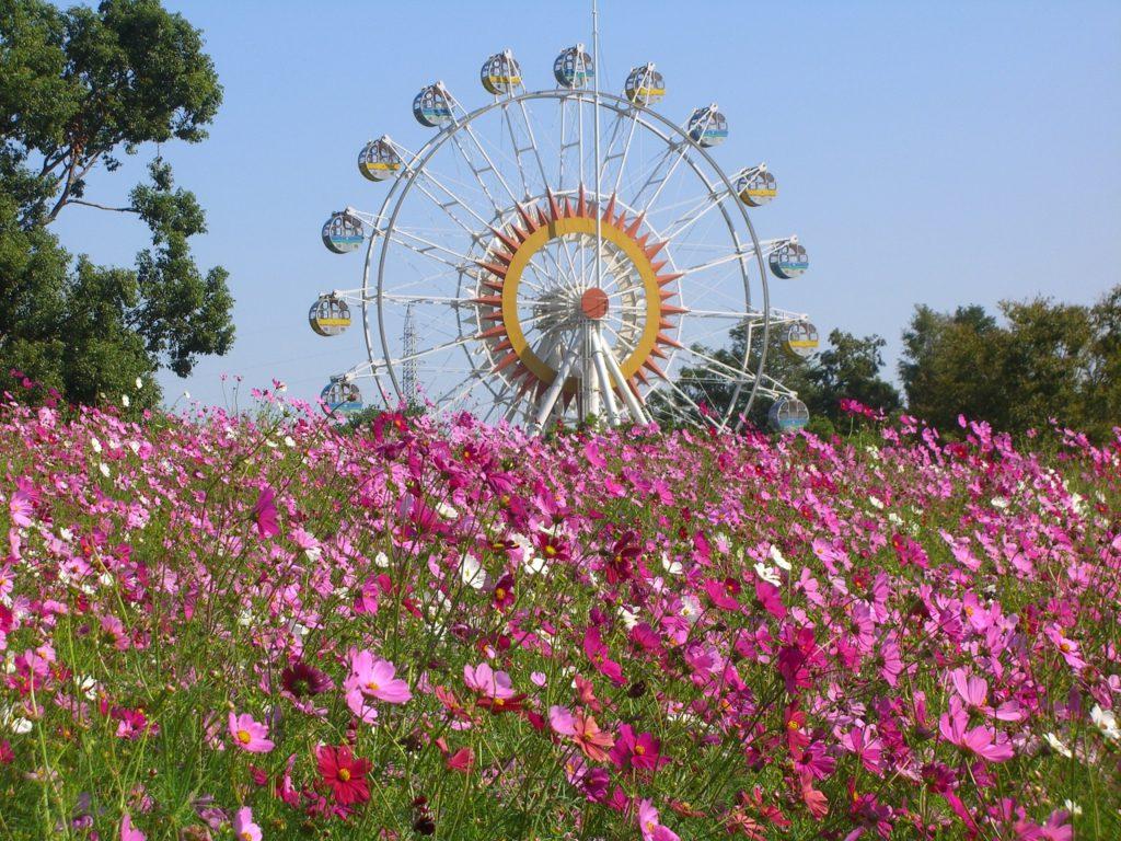 秋のコスモス畑と観覧車/熊本市動植物園