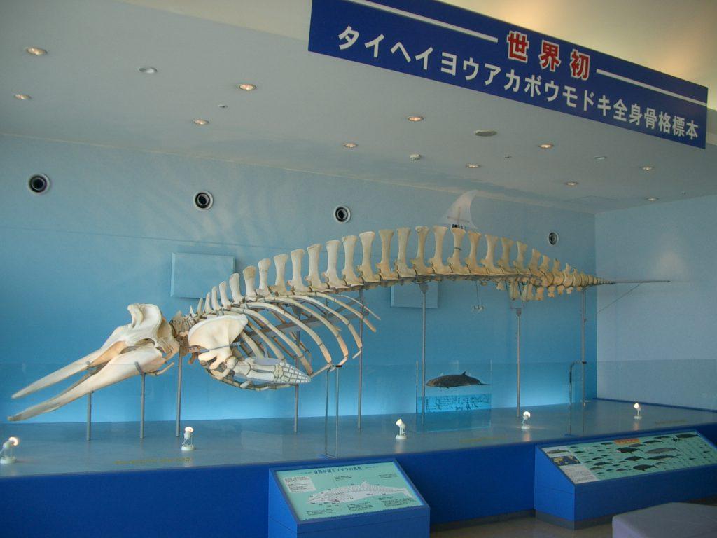5階の展望ホールに展示されているクジラ「タイヘイヨウアカボウモドキ」/いおワールド かごしま水族館(鹿児島県/鹿児島市)