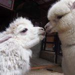 全国のアルパカとふれあえる牧場・動物園・パーク35選♪もこふわアイドルにエサやりも