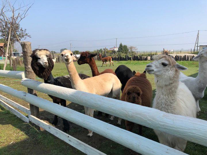 茶色やクリーム色のアルパカもいる/アースドリーム角山農場(北海道/江別市)