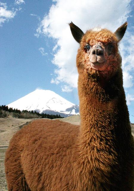 富士山をバックに茶色のアルパカ/富士山こどもの国(静岡県/富士市)