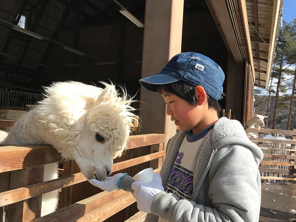 手のひらのエサを食べるアルパカ/信州塩尻農業公園 チロルの森(長野県/塩尻市)