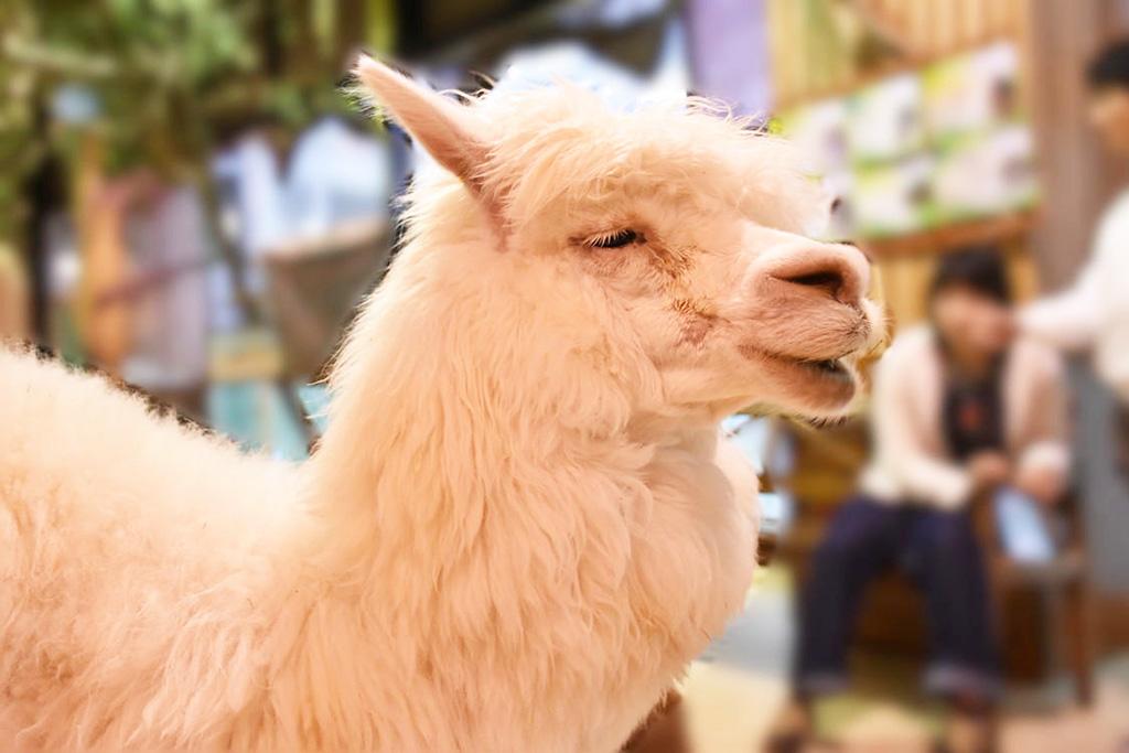 白くて美しい毛並みのアルパカ/ふれあい動物園 天保山アニパ(大阪府/大阪市)
