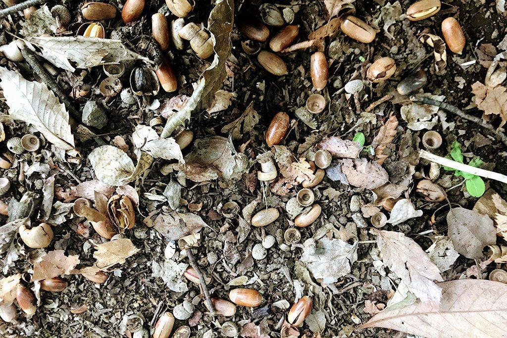 マテバシイの木の下にどんぐりが沢山/木場公園(東京都/江東区)