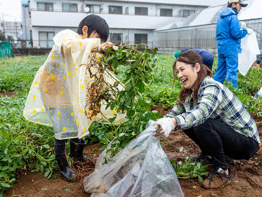 落花生を収穫(東京都/江戸川区)