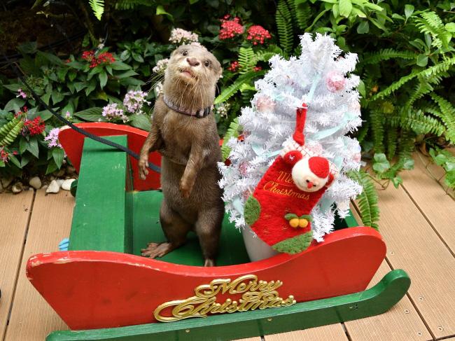 クリスマスの小物で遊ぶコツメカワウソ/サンシャイン水族館(東京都/豊島区)