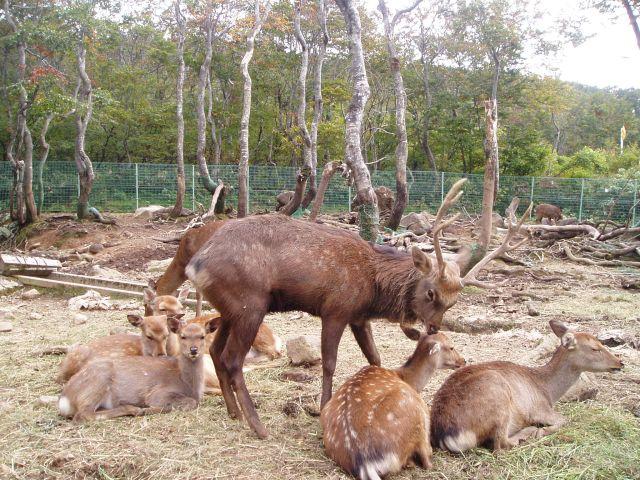 大平鹿公園の鹿(山形県/飽海郡遊佐町)