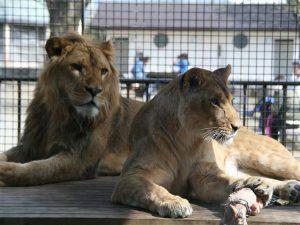 群馬県のおすすめ無料スポット4選!ライオンもいる動物園や牧場、展望スポットなど