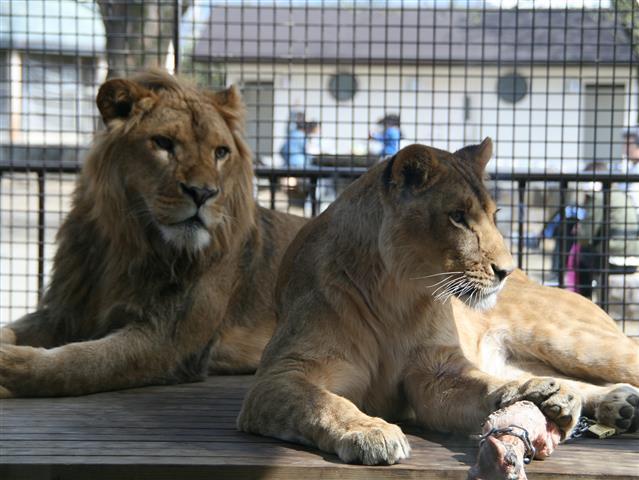 ライオン舎のライオン/桐生が岡動物園(群馬県桐生市)