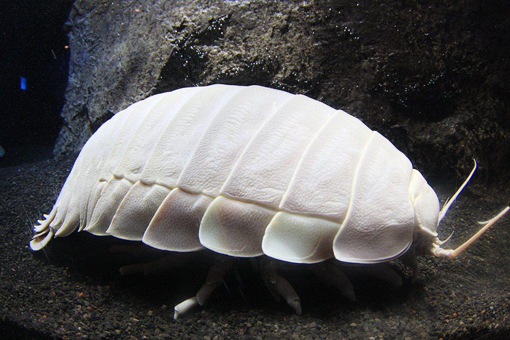 ダイオウグソクムシ/沼津港深海水族館(静岡県)