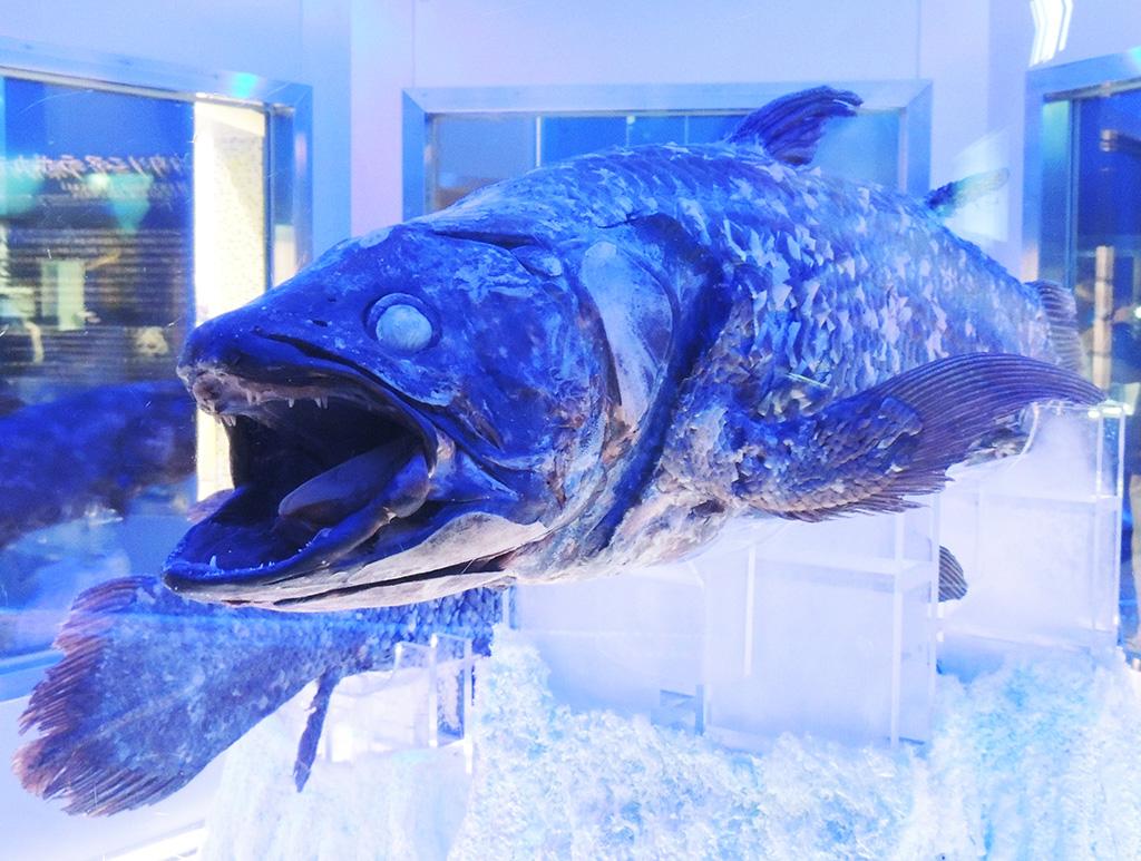 冷凍シーラカンス/沼津港深海水族館 シーラカンス・ミュージアム(静岡県/沼津市)