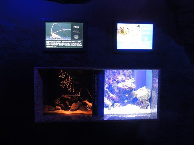 右:ショウグンエビ、左:クボエビ/沼津港深海水族館 シーラカンス・ミュージアム(静岡県)