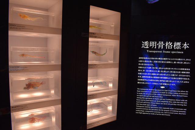 透明骨格標本/沼津港深海水族館 シーラカンス・ミュージアム(静岡県/沼津市)
