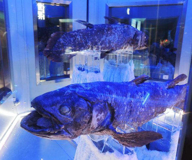 2体の冷凍シーラカンス/沼津港深海水族館 シーラカンス・ミュージアム(静岡県/沼津市)