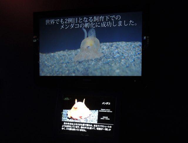 赤ちゃんメンダコ/沼津港深海水族館 シーラカンス・ミュージアム(静岡県/沼津市)