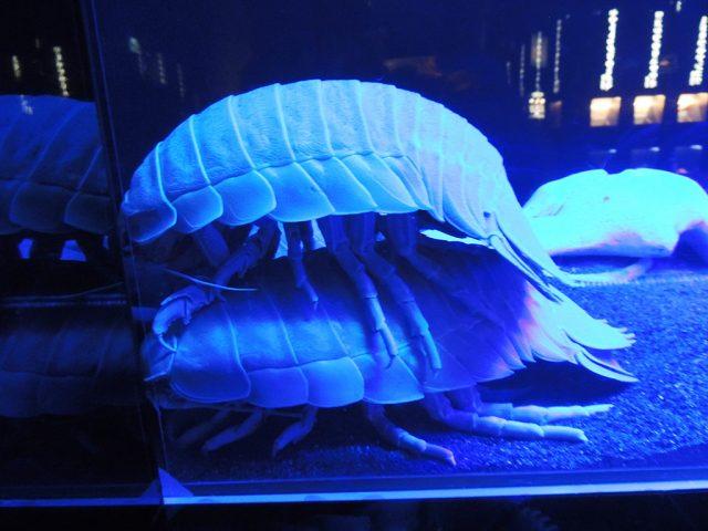 ダイオウグソクムシ/沼津港深海水族館 シーラカンス・ミュージアム(静岡県)