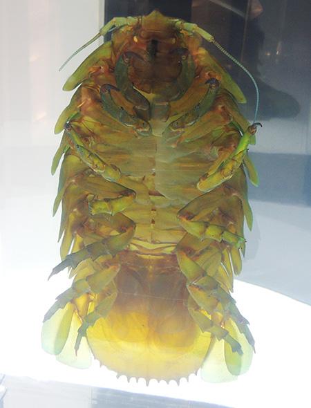 透明骨格標本のダイオウグソクムシ/沼津港深海水族館 シーラカンス・ミュージアム(静岡県/沼津市)