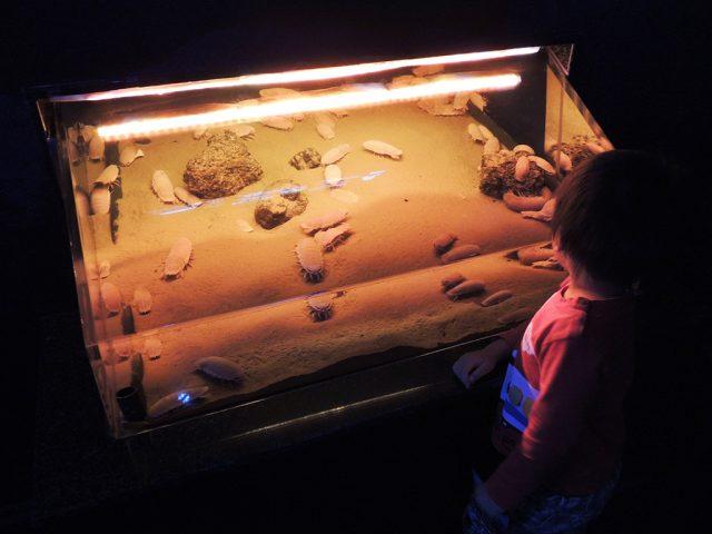 オオグソクムシをみる子ども/沼津港深海水族館 シーラカンス・ミュージアム(静岡県/沼津市)