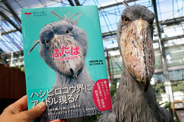ハシビロコウの「ふたば」/掛川花鳥園(静岡県/掛川市)