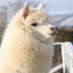 アルパカとふれあえる関東の牧場・動物園など11選♪ 那須と千葉が聖地