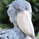 ハシビロコウに会える動物園は8つ!全国14羽の名前や性格は?なぜ動かない?