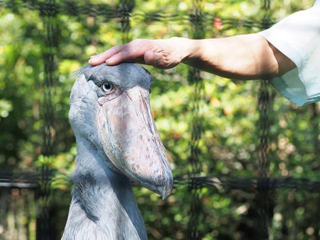 ハシビロコウの「しずか」/千葉市動物公園(千葉県)