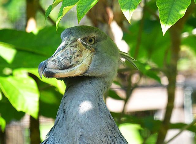 ハシビロコウの「はるる」/高知県立のいち動物公園(香南市)