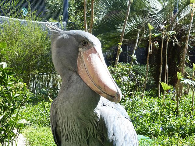 ハシビロコウの「ささ」/高知県立のいち動物公園(香南市)