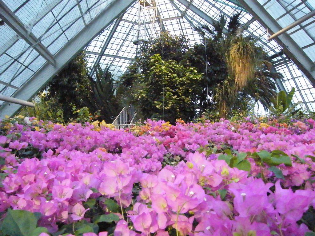 熱帯植物園のブーゲンビレア/函館市熱帯植物園(北海道/函館市)