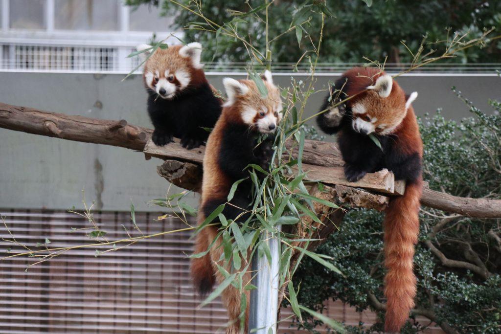 ニシレッサーパンダを飼育/熱川バナナワニ園(静岡県/東伊豆町)