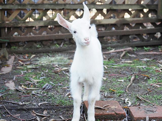 「ふれあいコーナー」のヤギ/足立区生物園(東京都)