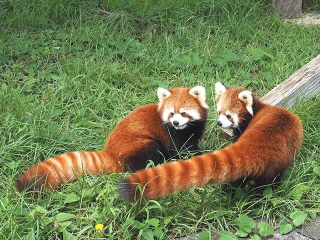 レッサーパンダ/大島公園動物園(東京都/大島町)