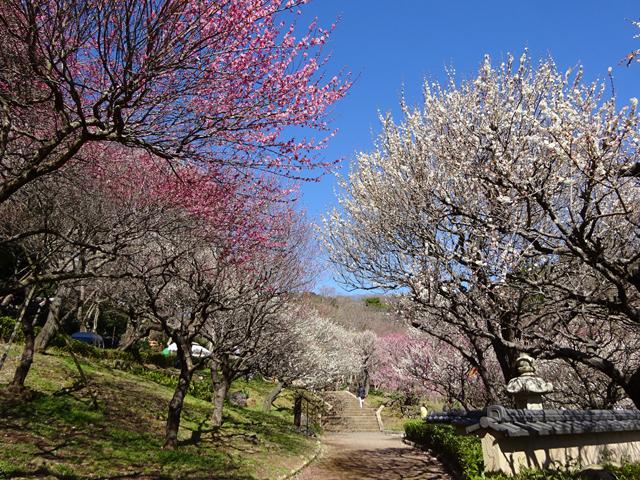 早咲きから中咲き、遅咲きまで梅の花を楽しめる/熱海梅園(静岡県熱海市)