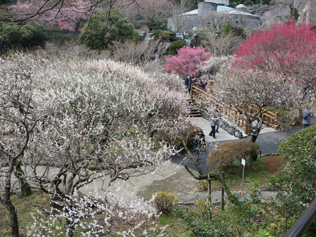 明治19年(1886)に開園。59品種472本の梅が咲く/熱海梅園(静岡県熱海市)