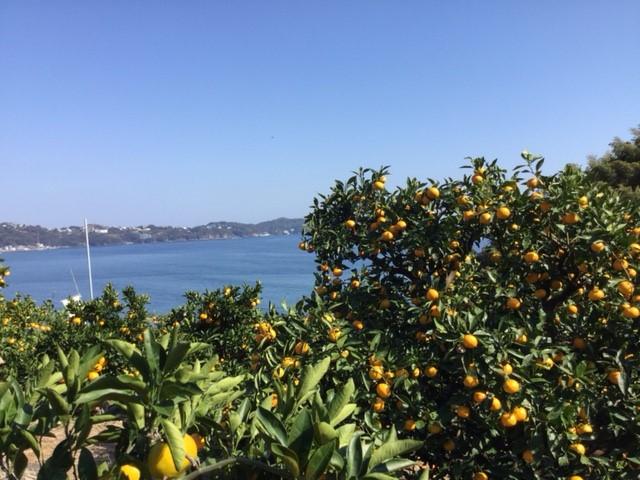 真っ青な海と空を眺めながらみかん狩り/マルフクガーデン(静岡県熱海市)