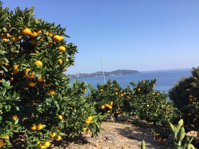 陽光と潮風を受けて育つみかんやオレンジ/マルフクガーデン(静岡県熱海市)