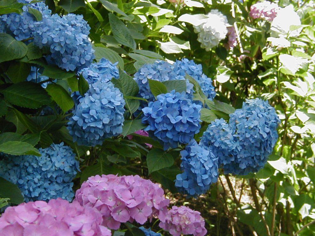 7月が旬の「アジサイ園」/姫の沢公園(静岡県熱海市)