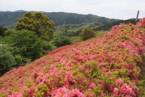 姫の沢公園(熱海)はピンクのツツジが6万本!季節の花々とアスレチックを楽しもう