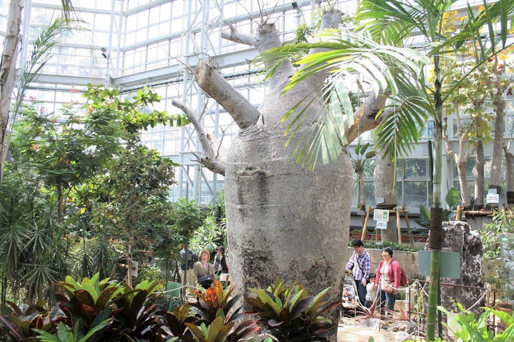 大温室の「オーストラリアバオバブ」/広島市植物公園(広島県/広島市)