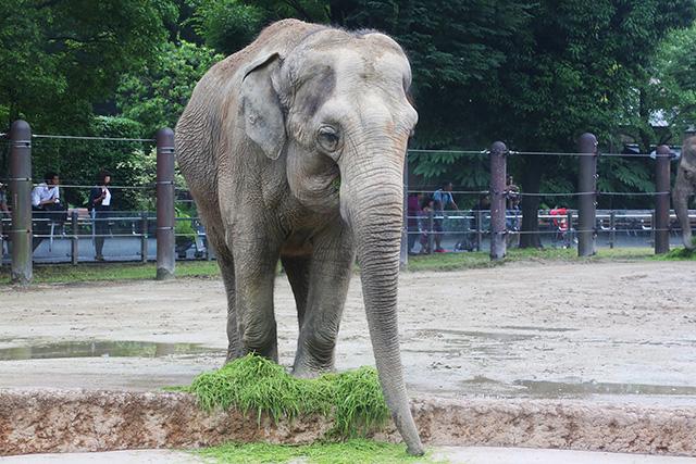 恩賜上野動物園(東京都/台東区)のアジアゾウ